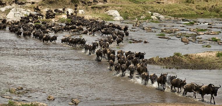migration_wildebeest_river_crossing